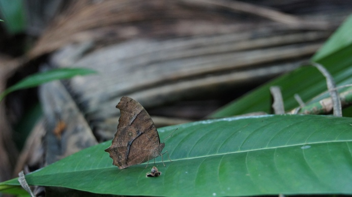Common evening brown on the Maldives