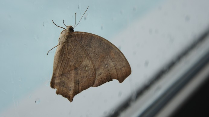 Common evening brown in Thailand
