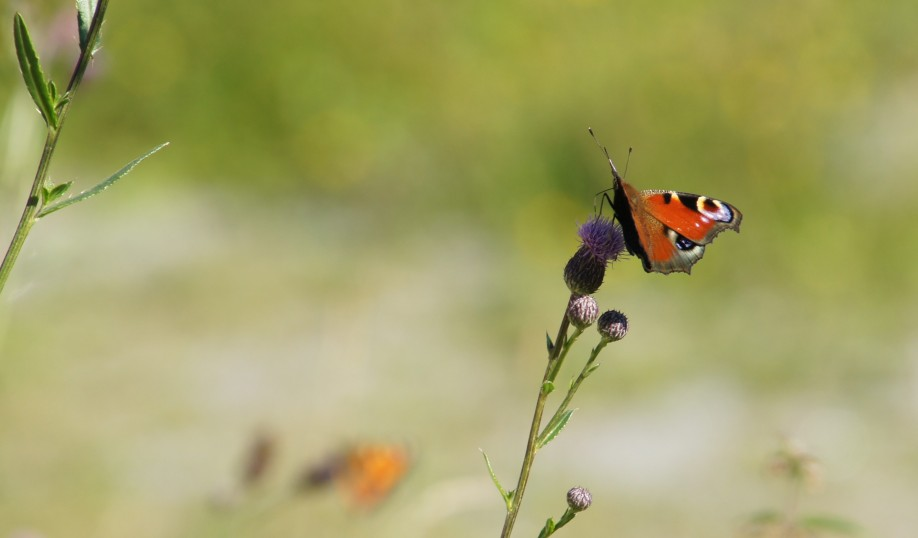European Peacock (Inachis io) feeding on Melancholy Thistle
