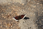 Mourning Cloak (Nymphalis antiopa) feeding on fluid leaking from dumpster