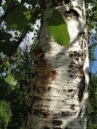 Scarce Tortoiseshell (Nymphalis xanthomelas) feeding on a birch's sap