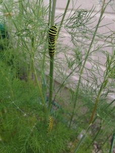Caterpillar of the Old World Swallowtail (Papilio machaon) on dill