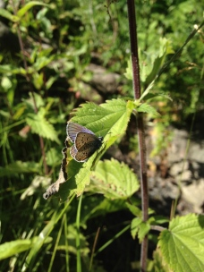 Common Blue (exact species not identified yet)