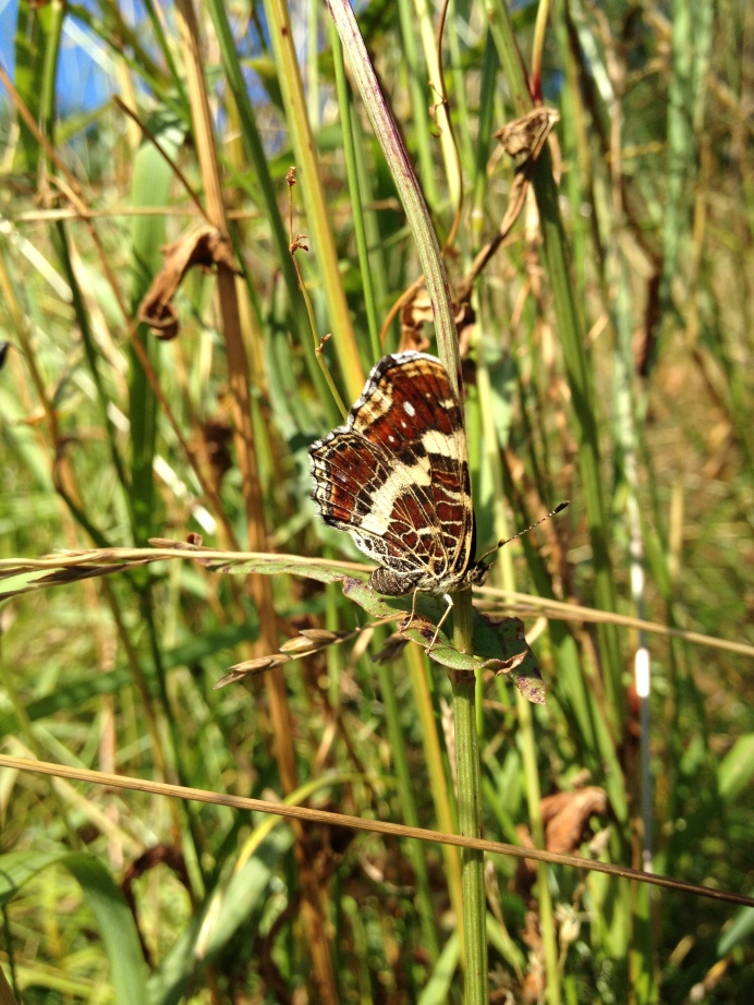 Female Map (Araschnia levana)