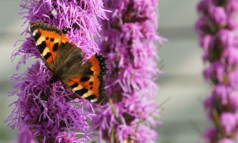 Small Tortoiseshell feeding on Dense Blazing Star (Liatris spicata)