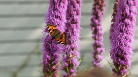 Small Tortoiseshell feeding in our garden