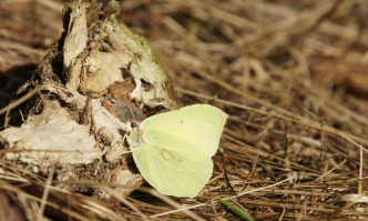 Common Brimstone, taking a rest