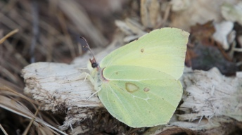 Common Brimstone taking a rest