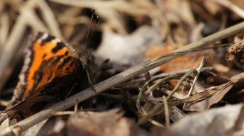 Scarce Tortoiseshell in the spring sun