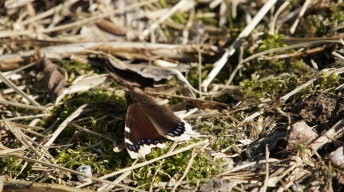 Mourning Cloak in the spring sun