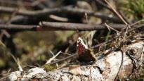 Moarning Cloak (Nymphalis antiopa) in the spring sun