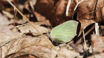 Female Common Brimstone (Gonepteryx rhamni) in the spring sun