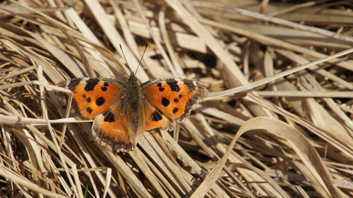 Scarce Tortoiseshell (Nymphalis xanthomelas) in the spring sun