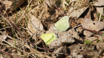 Dalliance of Common Brimstones (Gonepteryx rhamni) in the spring sun