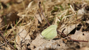 Common Brimstone (Gonepteryx rhamni) in the spring sun