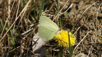 Male Common Brimstone (Gonepteryx rhamni) in the spring sun