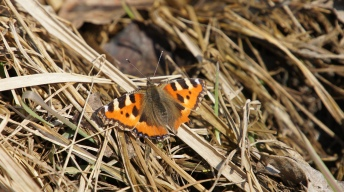 Small Tortoiseshells (Aglais urticae) in the spring sun