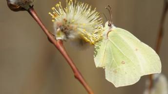 Common Brimstone in spring