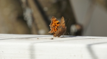 Comma visiting the butterfly bar in our garden