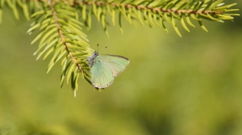 Green Hairstreak resting