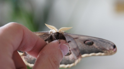 Feelers and claws of a male Giant Peacock Moth