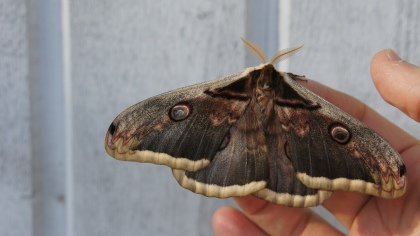 Male Giant Peacock Moth that hatched only moments earlier