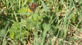 Unlucky shot of the first Red Admiral spotted in May 2014