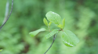 Alder Buckthorn, the food plant of Common Brimstone caterpillars