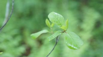 Alder Buckthorn, the food plant of Common Brimstone caterpillars
