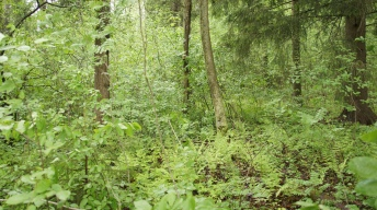 Forest with Alder Buckthorn and where caterpillars of the Common Brimstone were found