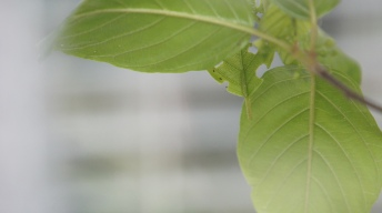 Caterpillar of the Common Brimstone in breeding cage