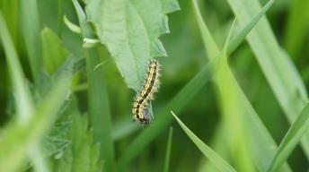 Caterpillar of the Small Tortoiseshell, 3rd instar