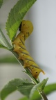 Caterpillar of a Death's-head Hawk moth