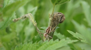 Young caterpillars of the Small Tortoiseshell attacked by a spider
