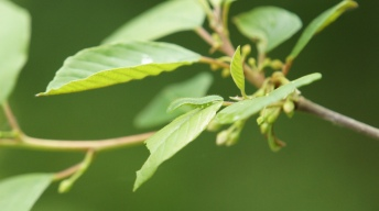 Caterpillar of the Common Brimstone