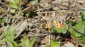 Painted Lady with severely damaged wings