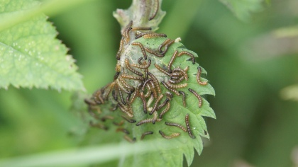 Young caterpillars of the European Peacock