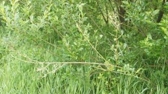 Feeding traces of Scarce Tortoiseshell caterpillars on willow