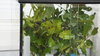 Caterpillars of the Scarce Tortoiseshell feeding on willow in a terrarium