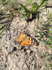 Female Painted Lady taking a rest