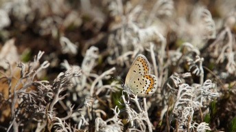 Northern Blue (female)