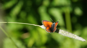 Purple-edged Copper (male)