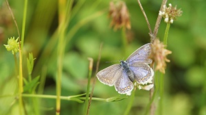 Common Blue, female