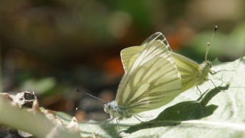 Copula of the Green-veined white