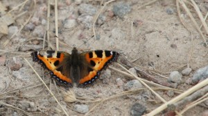 Small Tortoiseshell (summer generation)