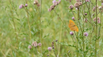 Silver-washed Fritillary, male
