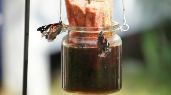 Red Admirals soaking at the Butterfly Bar
