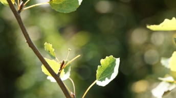 Feeding traces of the Poplar Hawk-moth caterpillar