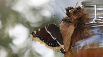 Mourning Cloak soaking at the butterfly bar