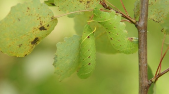 Caterpillars of the Poplar Hawk-moth